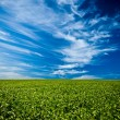 Stock Photo: Green field under blue skies