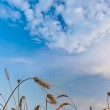 Wheat on filed — Stock Photo #3482762