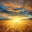 Stock Photo: Wheat field horizontal
