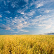 Oats field — Foto Stock