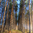 Stock Photo: Tall pines in autumn forest