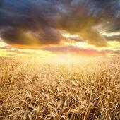 Sunset above the wheat field — Stock Photo