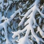 Крупным планом Мех дерево филиал — Стоковое фото