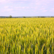 Royalty-Free Stock Photo: A wheat