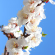 Stock Photo: Flowers of apricot tree