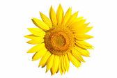 Izole ayçiçeği — Stok fotoğraf