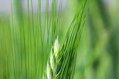 Agricultural plants — Stock Photo