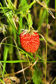 Berries of a strawberry — Stock Photo