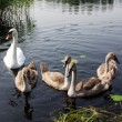 Swans — Stock Photo #3699677