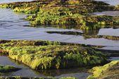 COASTAL TIDEPOOLS AND MOSSY ROCKS . — 图库照片