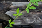 Green leaves on an old wood — Stock Photo