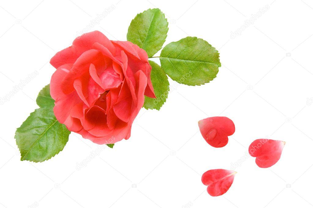 粉红玫瑰花瓣形状的白色上孤立的心– 图库图片