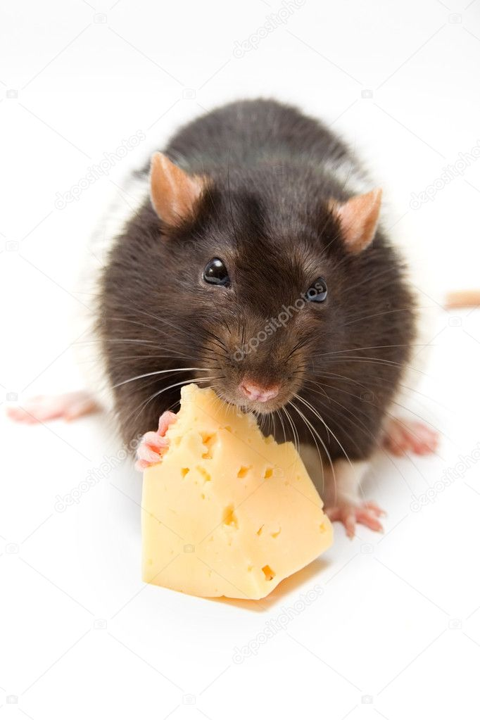 Rat eating cheese isolated on white — Stock Photo #3600992