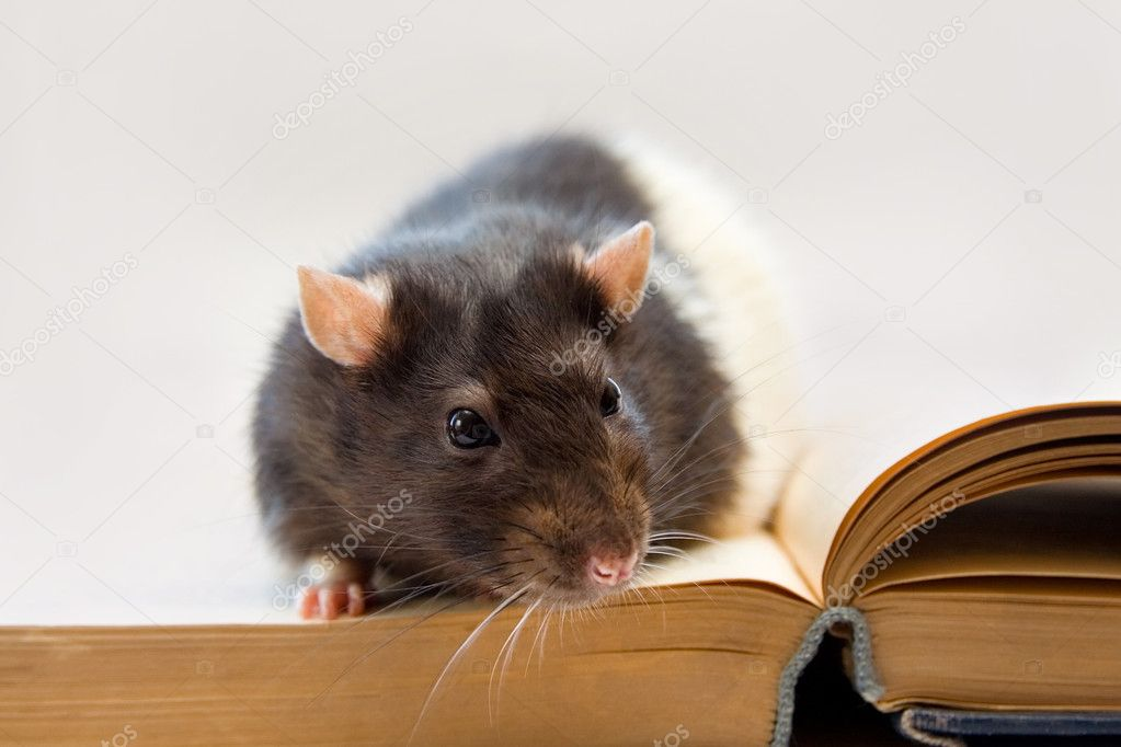 Home rat sitting on an old book — Stock Photo #3600997