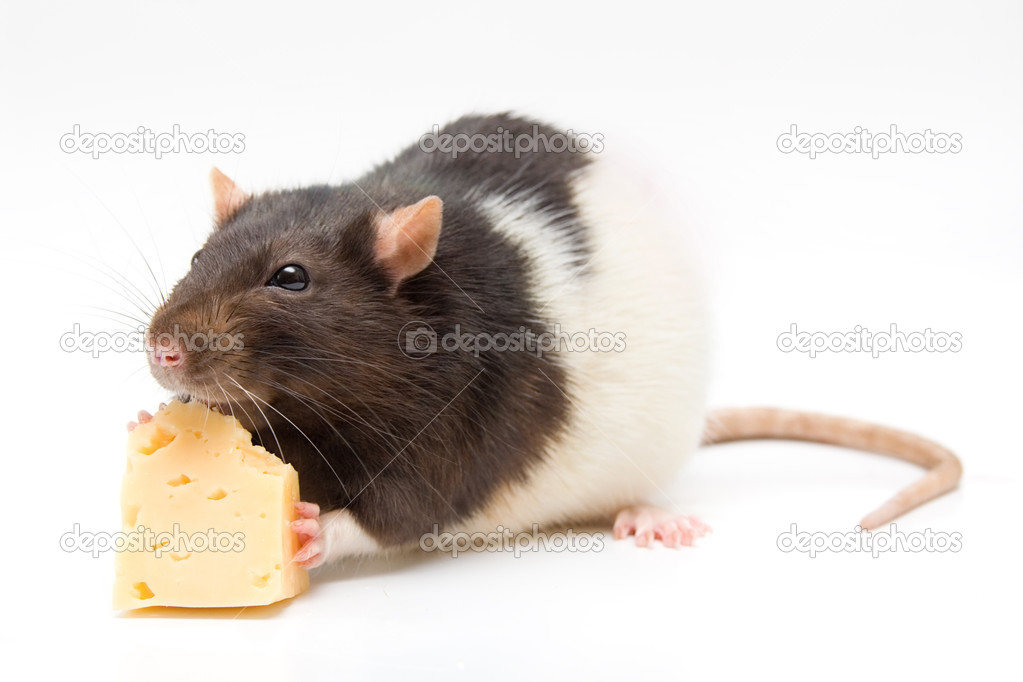Can You Feed Rats Cat Food