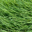 Green grass texture — Stock Photo #3816390
