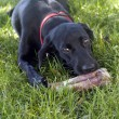 Stock Photo: Dog sniffing bone