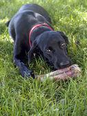 Dog sniffing bone — Stock Photo