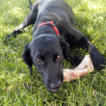 Dog biting bone — Stock Photo