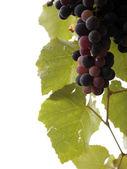 Grape vine close up — Stock Photo