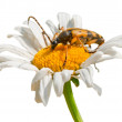 Beetle on daisy - Stock Photo