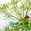 Beetles on dill — Stock Photo