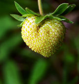 Green strawberry — Stock Photo
