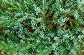 Niebieski jodła — Zdjęcie stockowe