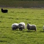 Icelandic sheep — Stock Photo #3385522