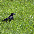 Royalty-Free Stock Photo: Lonely raven sitting in a grass