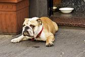 Serious dog — Stock Photo