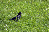 Lonely raven sitting in a grass — Stock Photo