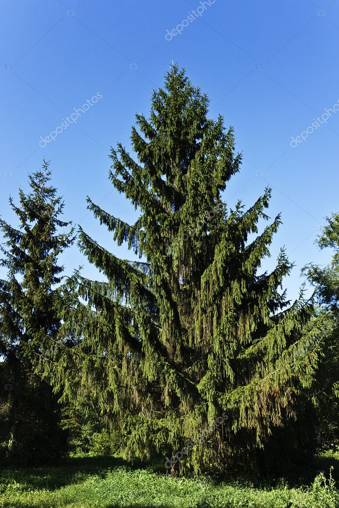 Fine summer fur-tree ready to Christmas.  Stockfoto #3392891