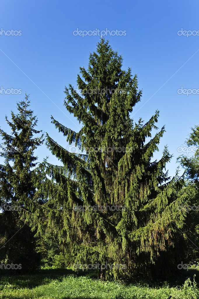 Fine summer fur-tree ready to Christmas. — Stock Photo #3392891