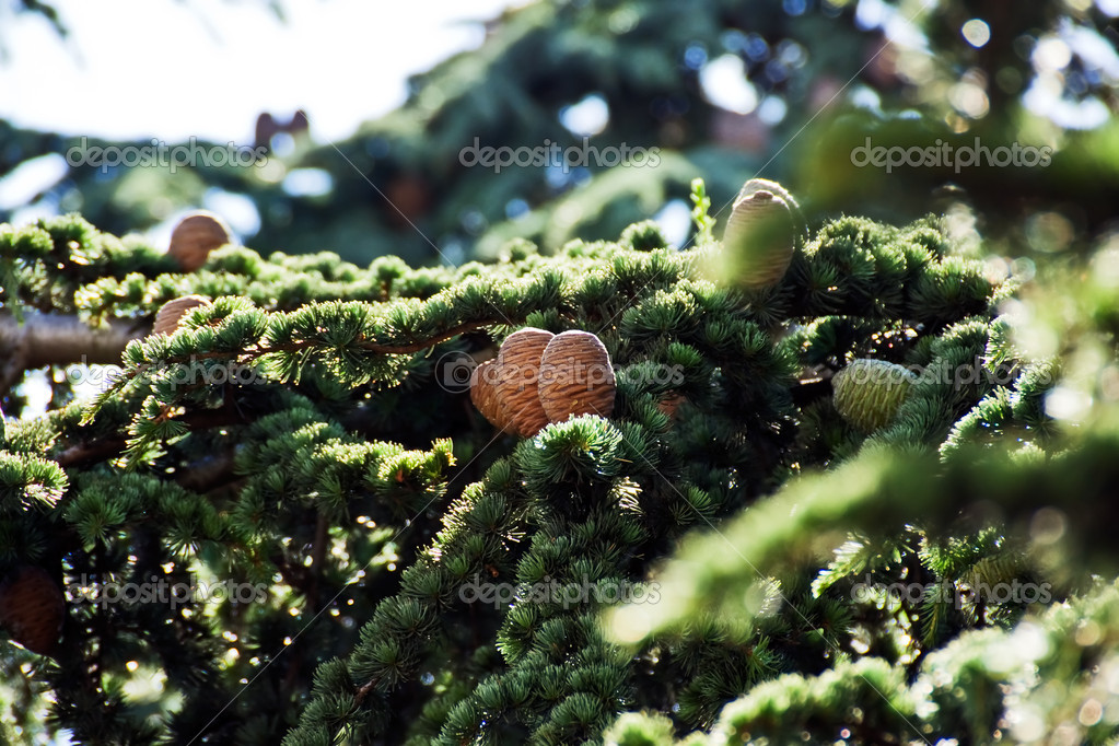Fir cones approaching for Christmas subjects  Stock Photo #3400786