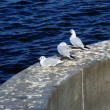 Stock Photo: Gulls on parapet