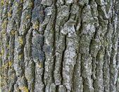 Cortex of the oak — Stock Photo