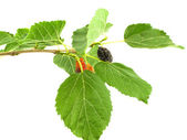 Mulberry on branch — Stock Photo