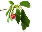 Cherry on branch with litho — Stock Photo