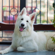 White shepherd — Stock Photo #3392240