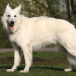 Stock Photo: White shepherd