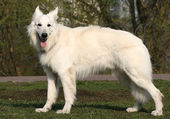 White shepherd — Stock Photo