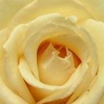 Beautiful fresh rose flower — Stock Photo