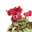 Cyclamen — Stock Photo #3415139