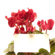 Cyclamen — Stock Photo #3415145