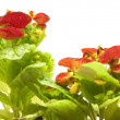 Calceolaria — Stock Photo
