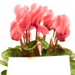 Cyclamen — Stock Photo #3422483