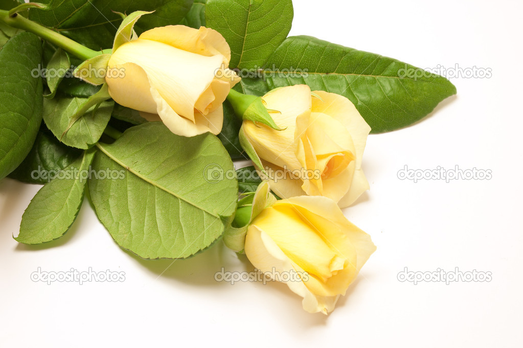 Beautiful pale yellowish rose isolated on white — Stock Photo #3422558