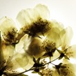 Dried branch of jasmine flower - Stock Photo