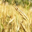Stalk of wheat — Stock Photo